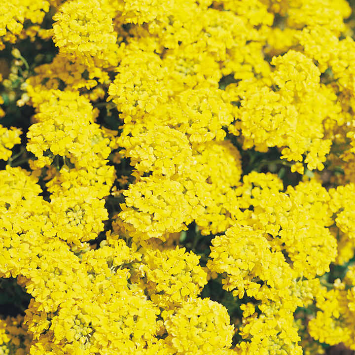 Alyssum montanum Seeds - Mountain Gold