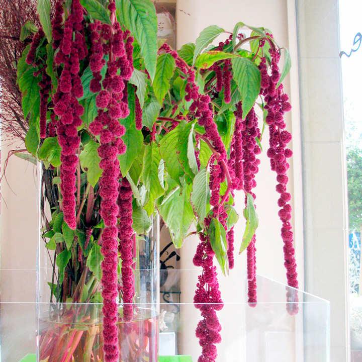 Amaranthus Seeds - Crimson Fountains Mixed