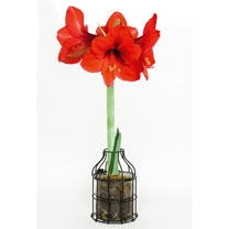 Amaryllis Bulb in Metal Planter