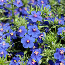 Vigorous, spreading plants smothered in medium-sized, bright blue single flowers. Height 20-30cm (8-12). Ideal for baskets and containers. Supplied in