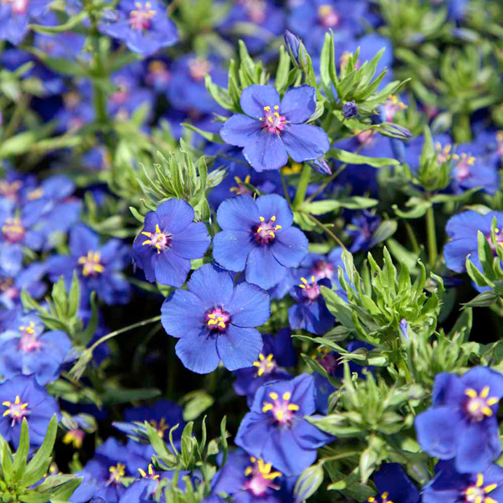 Anagallis Plant - Skylover