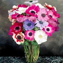 Image of Anemone Seeds - Mona Lisa Mixed