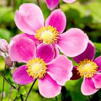 Anemone Plants - Splendens