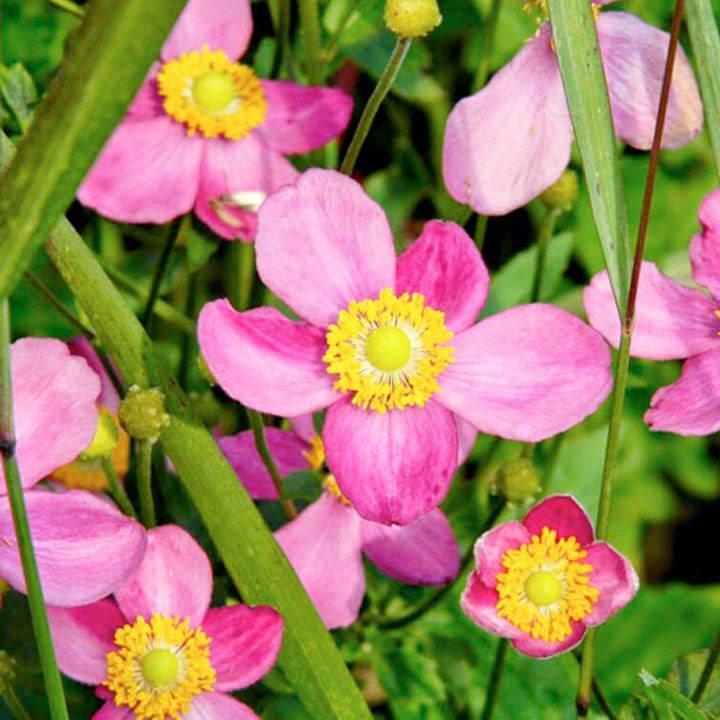 Anemone Plant - Pretty Lady Susan