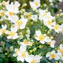 Anemone Plant - Pretty Lady Maria