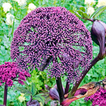 Angelica Plants - Gigas
