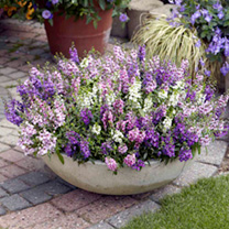 Angelonia Plug Plants - Serena Mix