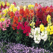 Antirrhinum Seeds - Sonnet Mixed F1