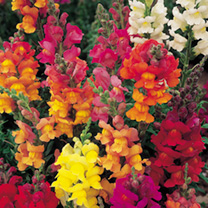 Antirrhinum Seeds - Dobies Giant-Flowered Mixed