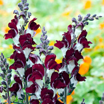 Image of Antirrhinum Plants - Night and Day