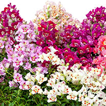 Image of Antirrhinum Plants - Antiquity Mix