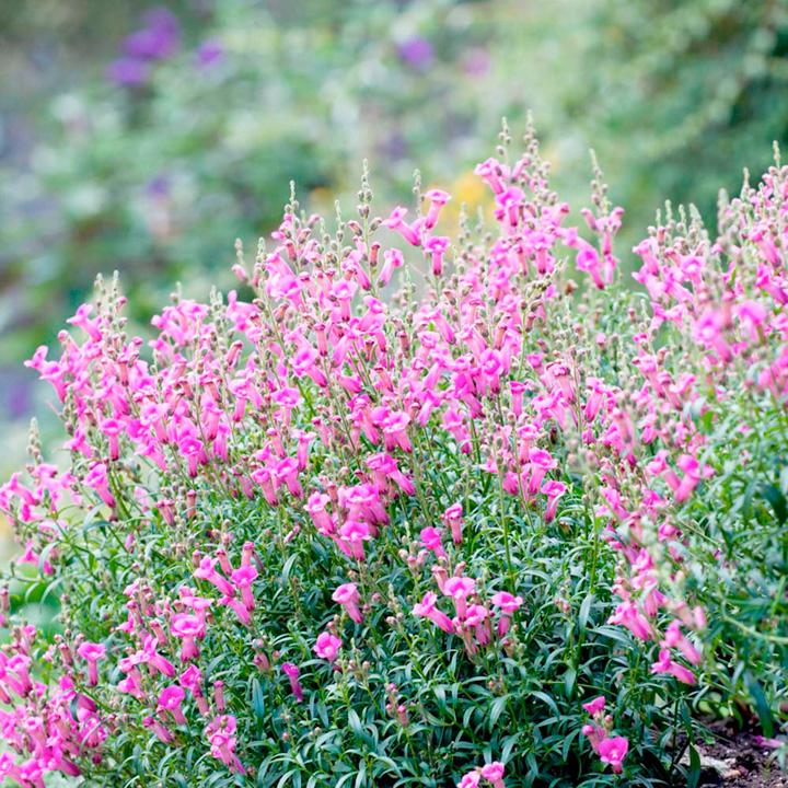 Antirrhinum majus Plant - Pretty in Pink