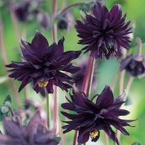 Aquilegia Plants Black BarlowA beautifully unique flower loved by garden designersThe Aquilegia Plants Black Barlow is a popular variety amongst garde