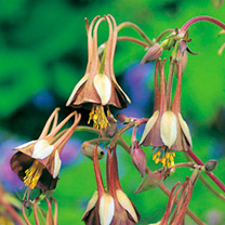 Image of Aquilegia Seeds - Chocolate Soldier