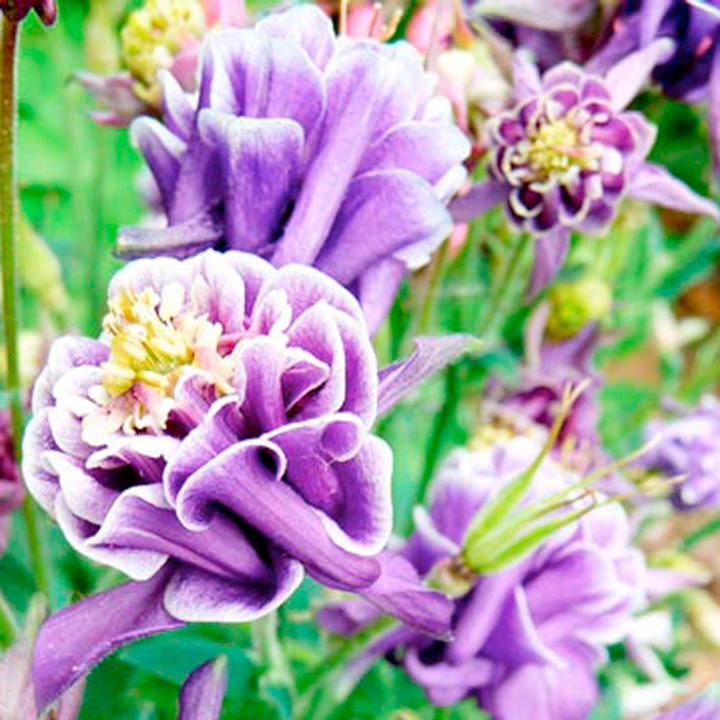 Aquilegia Seeds - Winky Double Dark Blue White