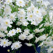 Image of Argyranthemum White Full Moon