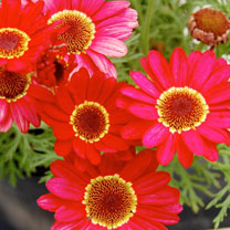Image of Argyranthemum Plant - Grandaisy Red