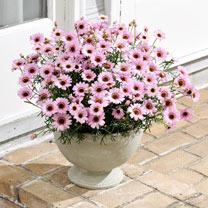 Argyrangthemum Plants - Sherbet Frost Pink