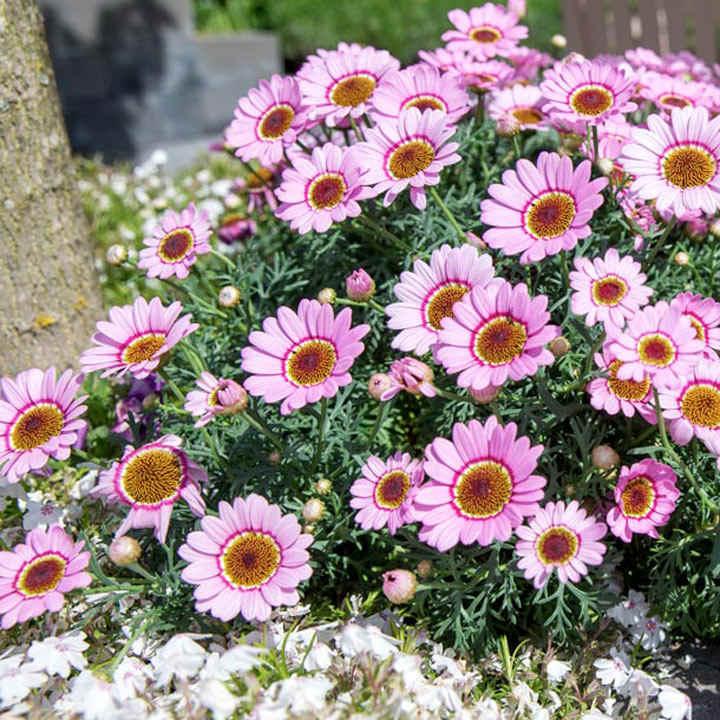 Argyranthemum Plants - Sherbert Frost Pink