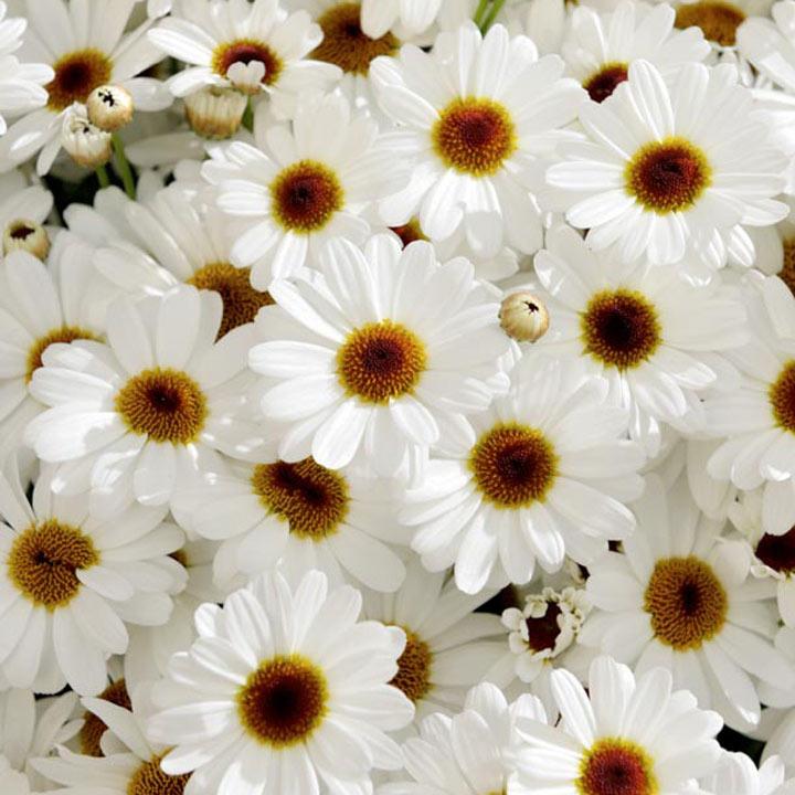 Marguerite Plants - White