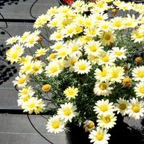Marguerite Plant - Grandaisy Yellow