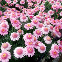 Marguerite Plant - La Rita Rose