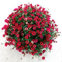 Image of Argyranthemum (Marguerite) Plant - Ruby