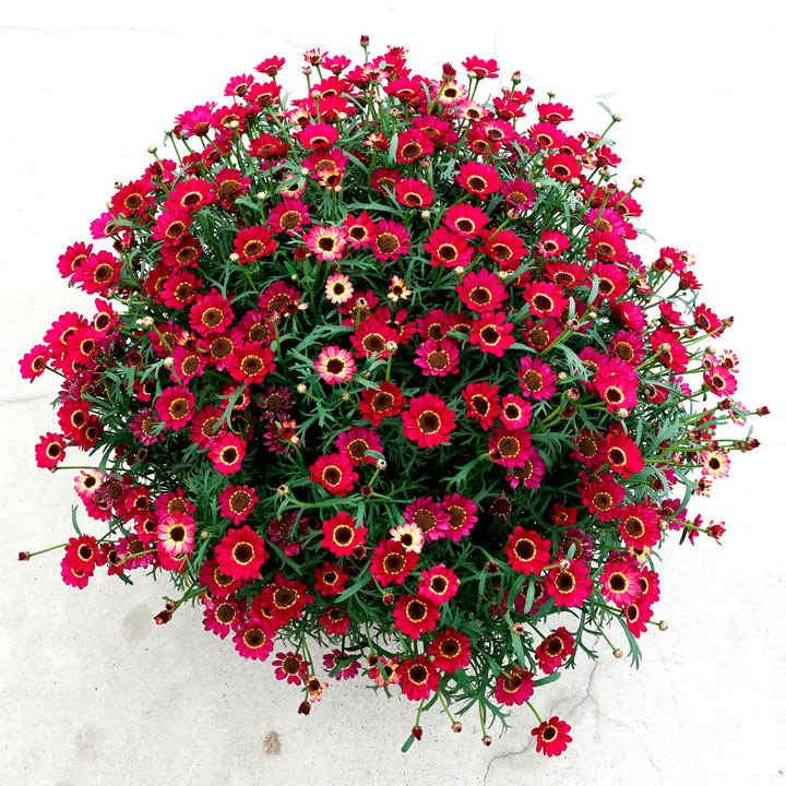 Argyranthemum (Marguerite) Plant - Ruby