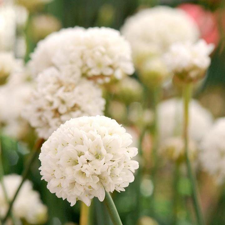 Armeria Plants - Ballerina White