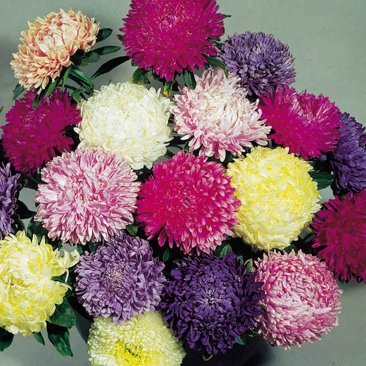 Aster Seeds - Duchess Mixed Colours
