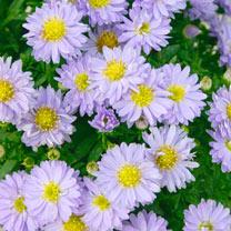 Aster Plant - Autumn  Jewels 'Aqua Compact'