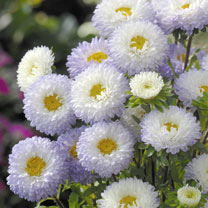 Aster Seeds - Matsumoto White Tipped Blue