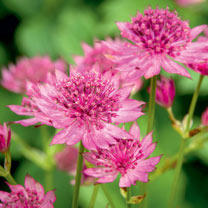 Astrantia Plants - Roma