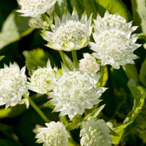 Astrantia Plants - White Angel