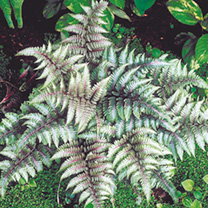 A fully hardy deciduous fern that will light up a shady corner of the garden with its absolutely spectacular silver variegated foliage, sometimes flus
