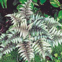 Athyrium metallicum Plant