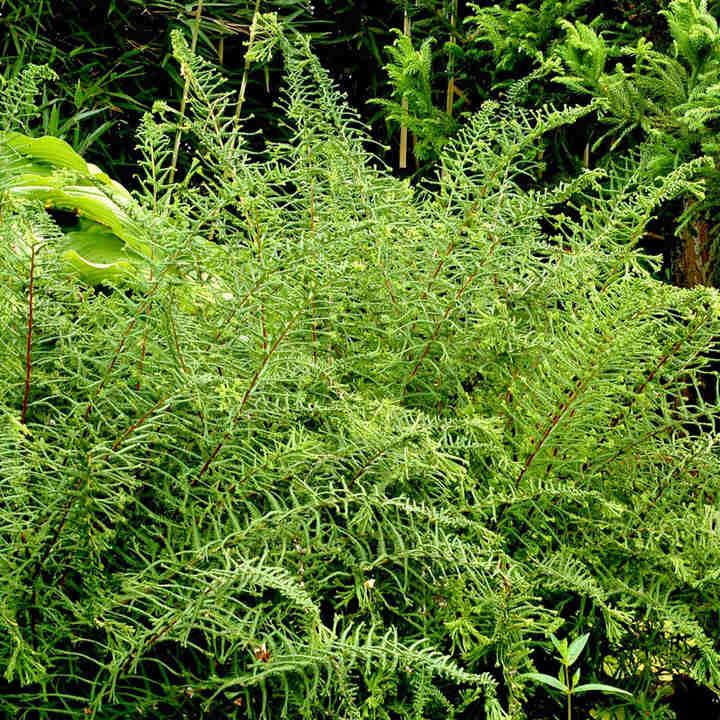 Athyrium Plant - Dre's Dagger