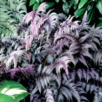 Athyrium Plants - Burgundy Lace