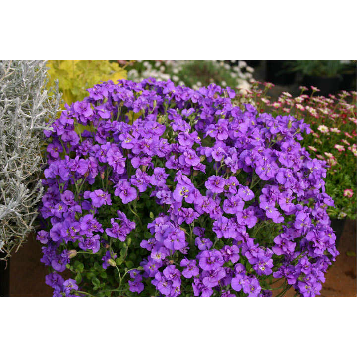 Aubrieta Plant - Blue Beauty