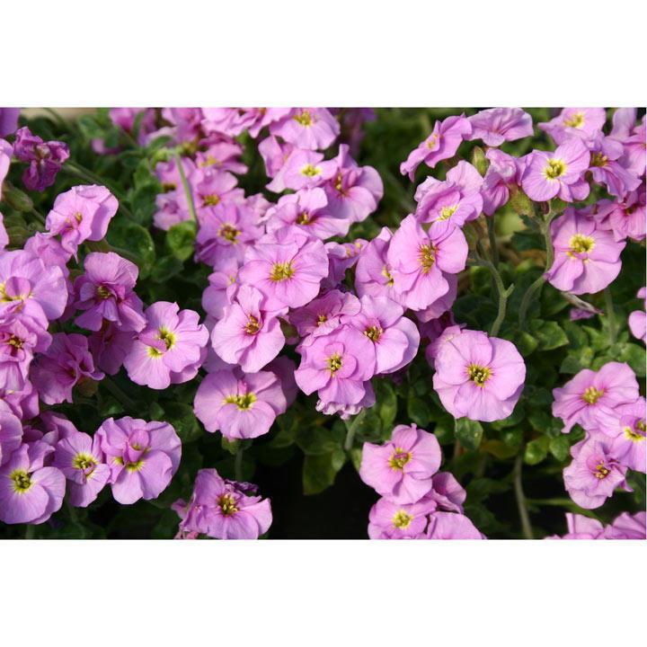 Aubrieta Plant - Double Pink