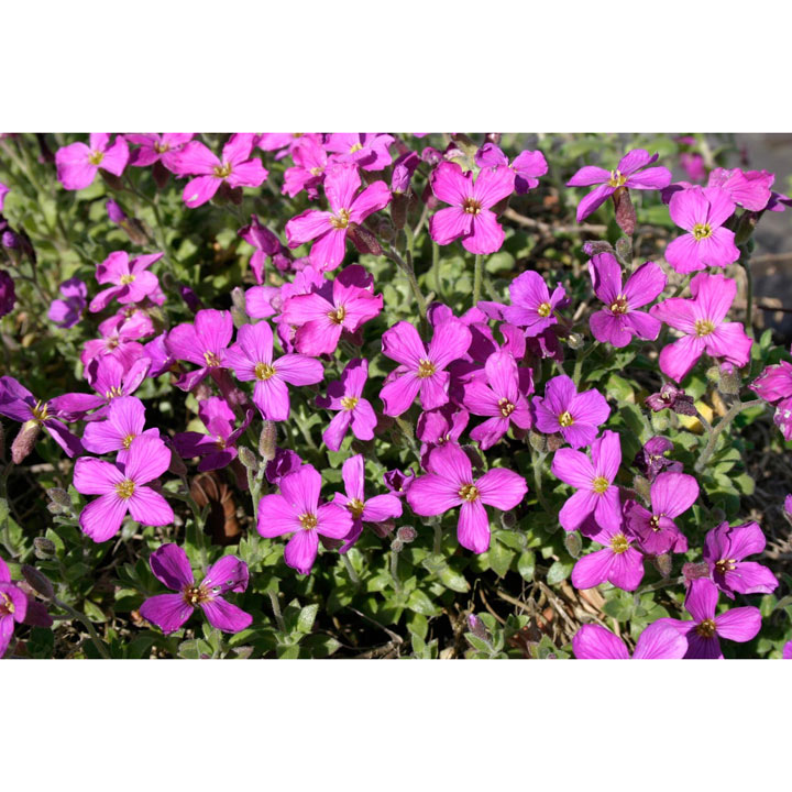 Aubrieta Plant - Royal Red
