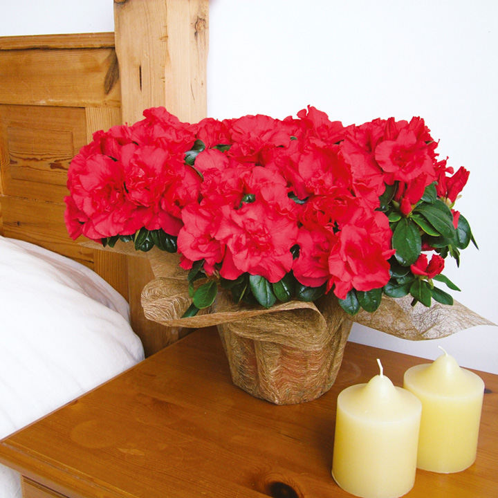 Azalea Darious Plant - Red
