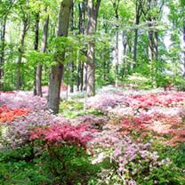 Azalea japonica Plants - Collection