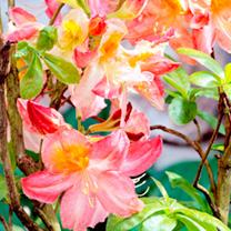 Azalea Plant - Cecile