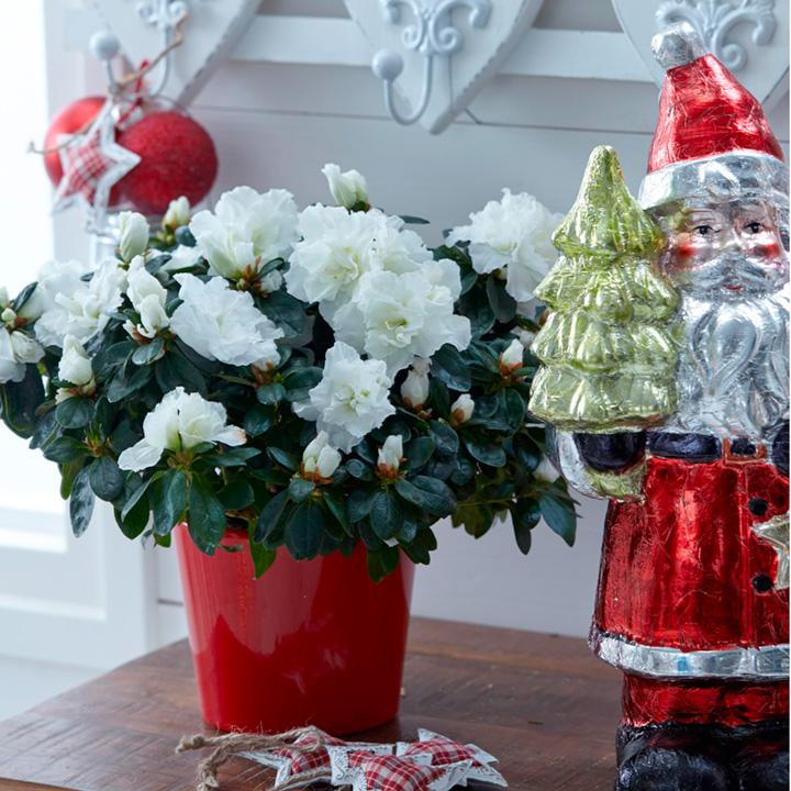 Azalea mont blanc indoor plants indoor garden gifts for Indoor plant gift ideas