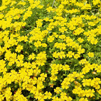 Bacopa Plants - Yellow