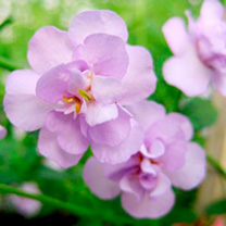 Bacopa Plants - Secrets Double Lavender
