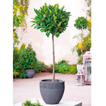 Bay Tree - Medium Standard 70-80cm