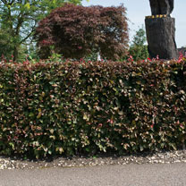 Fagus Atropurpurea (Purple Beech) Plants - 2L Value Hedging Range