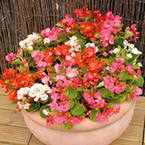 Image of Begonia Plants - F1 Ambassador Mix